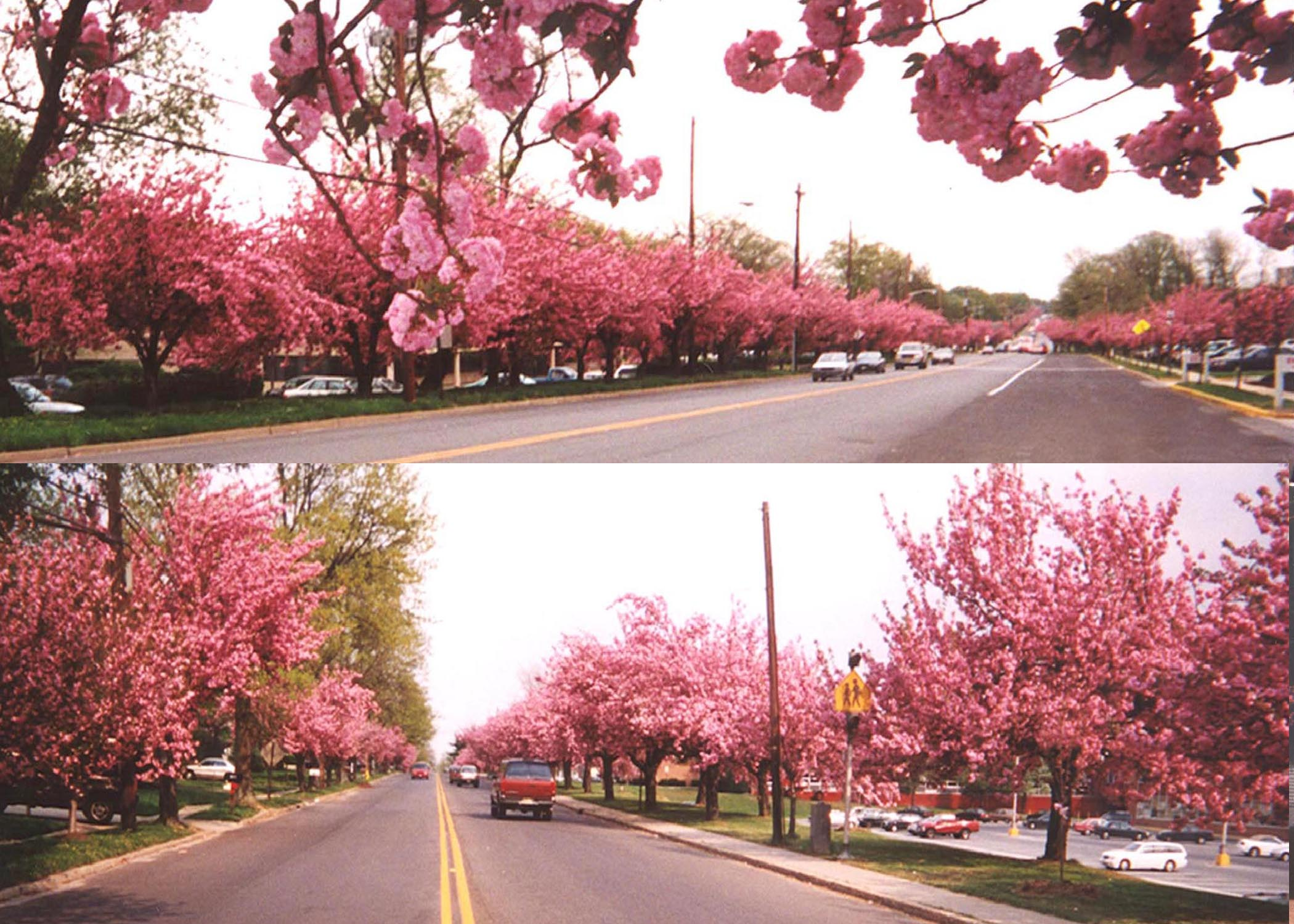 Cherry Blossoms in Cherry Hill, New Jersey